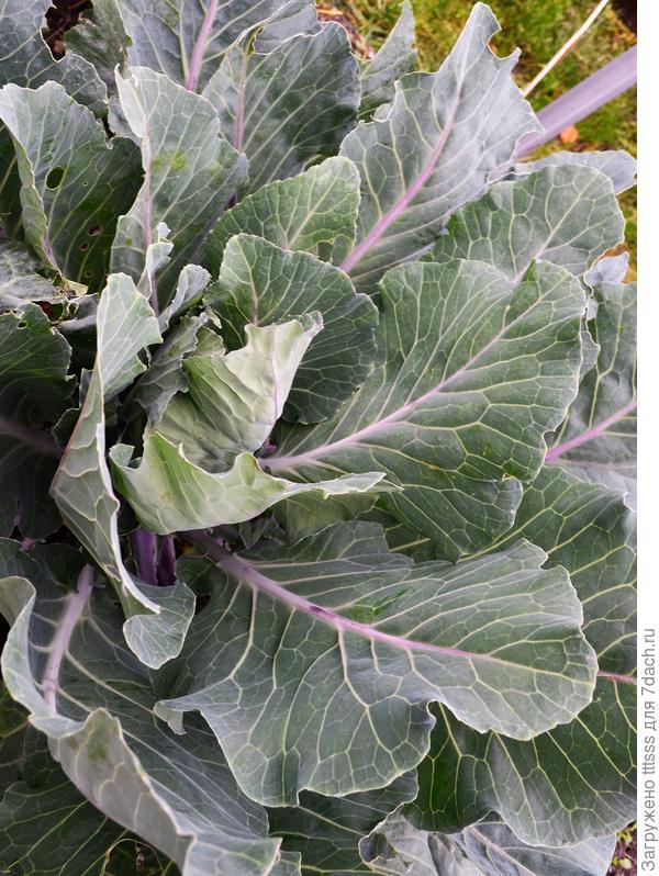 Разгадана тайна фиолетовой капусты?! Информация для Премиум Сидс