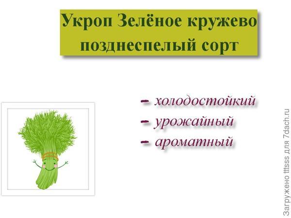 Укроп Зелёное кружево. Стартуем...