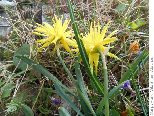 Нарцисс игольчатый, точное название сорта не знаю.
