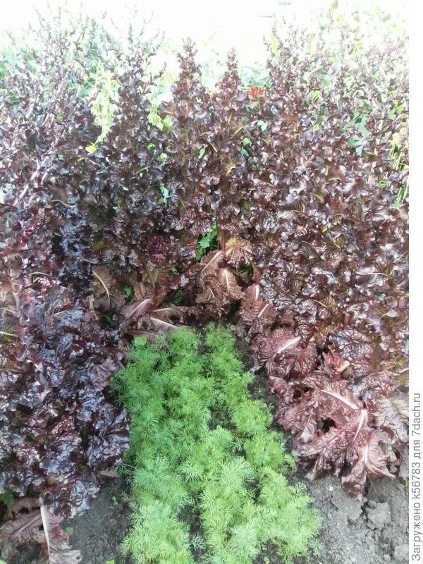'Гранатовый блеск' гранатового браслета в моём огороде