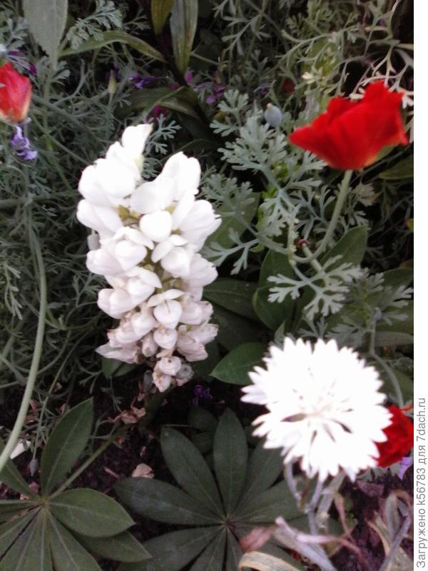 Лишь три моих 'Бамбини' дошли до цветения