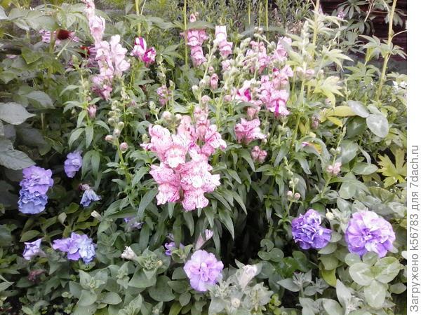 'Пурпурный вальс' антирринум танцует в цветнике