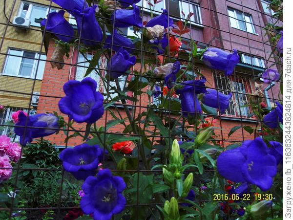 Синие колокола