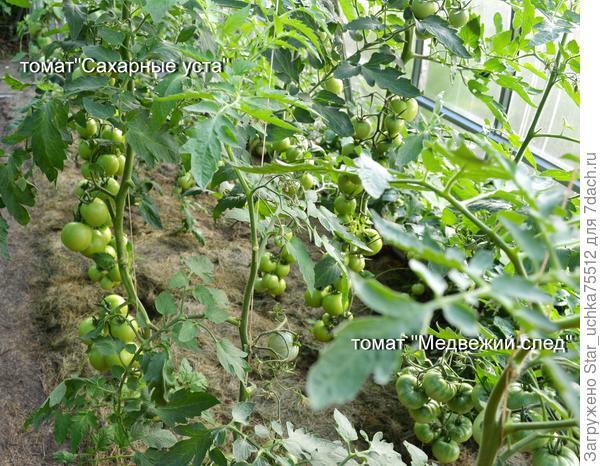 в теплице он выше и самим плоды крупнее, хотя я люблю уличные с куста.