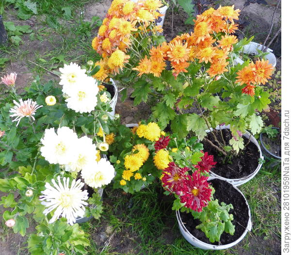Готовим хризантемы к зимовке