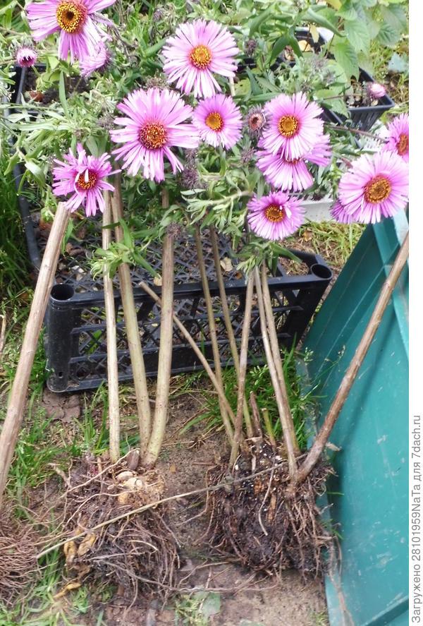 Делим многолетние цветы осенью