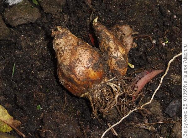 Высаживаем луковичные цветы осенью. Но некоторым луковичным нужно уделить особое внимание