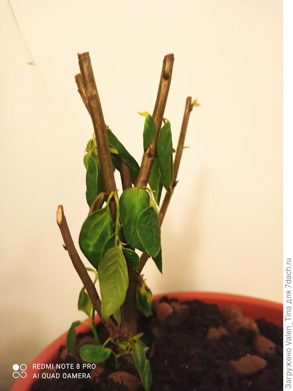 Почему вянут листья дейции шершавой?