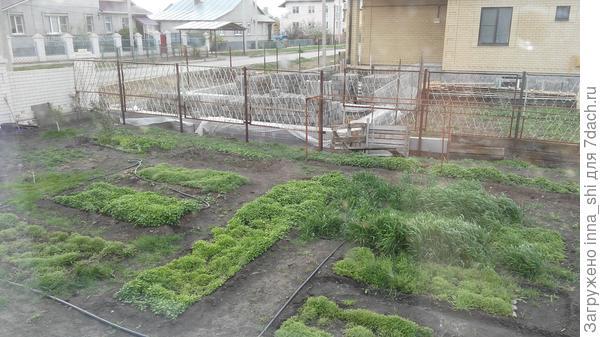 Весна идет... сидераты уже зеленеют