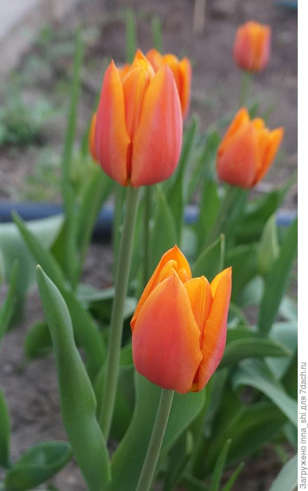 Тюльпаны. Впитав солнечные лучи, окрасили мир в оранжевый цвет