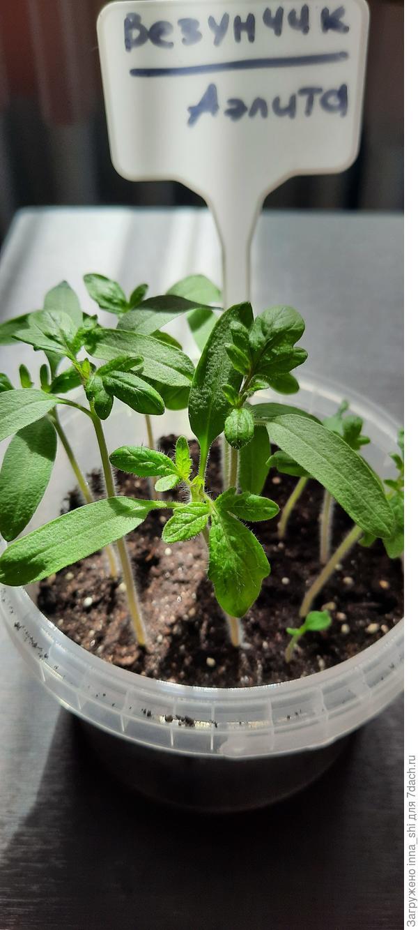 Рассада томатов шести дней от роду