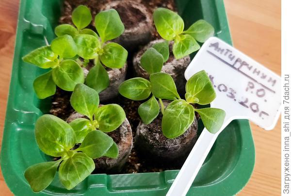 Кудрявые растения Антирринума Пурпурный вальс