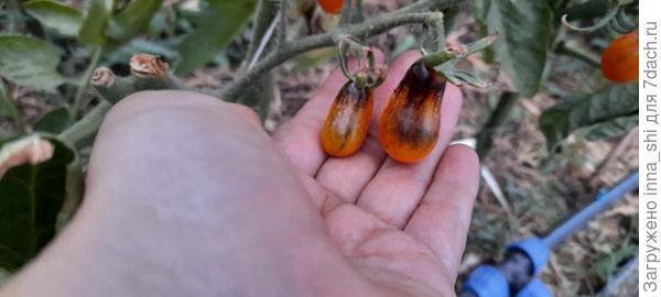 Томаты разные нужны, томаты разные важны