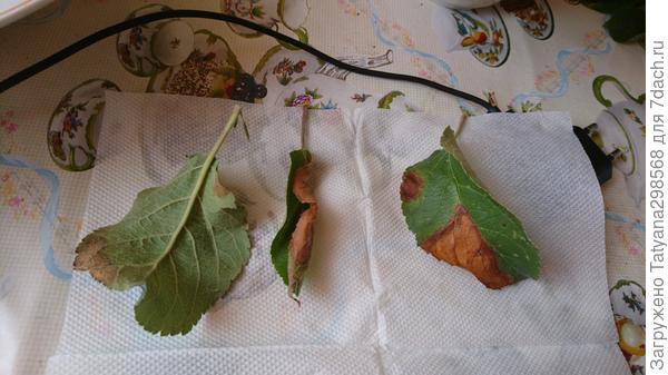 Листики яблони уэлси