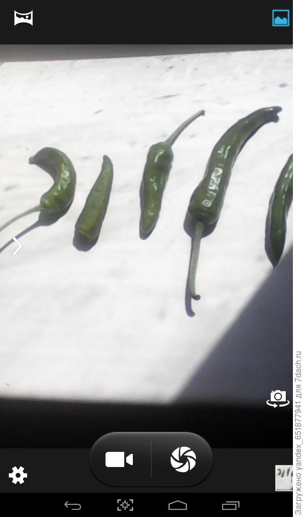 мой урожай перец на фотоконкурс,