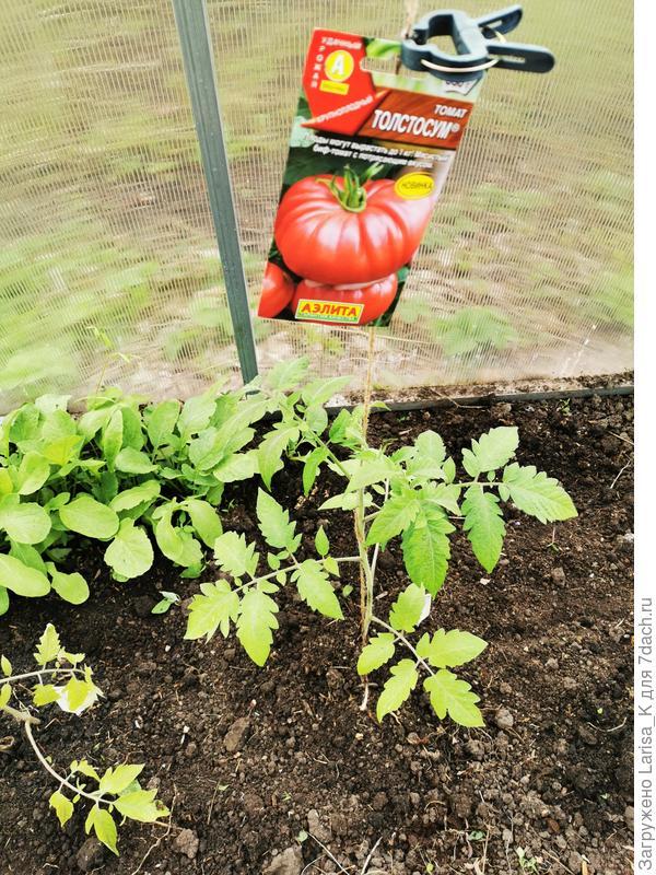 'Черная лакомка' F1 и 'Толстосум' - такие разные томаты. Рост и развитие