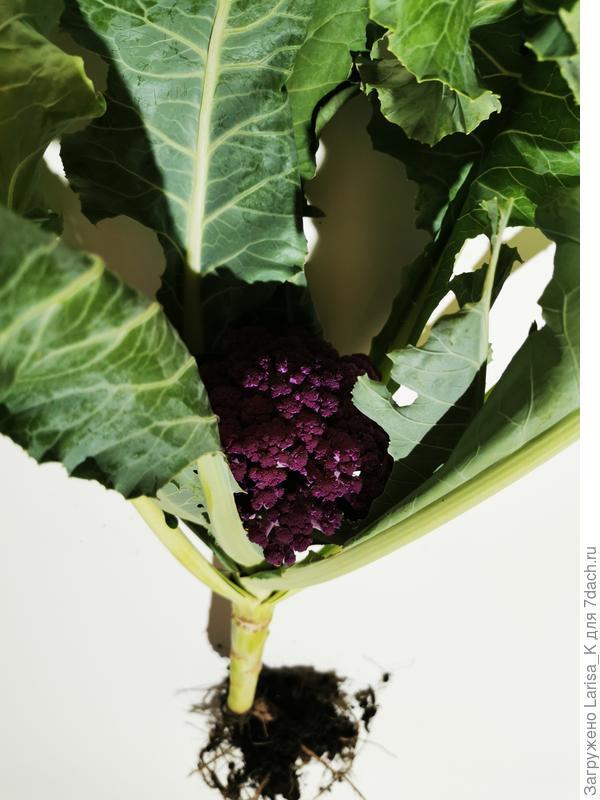Цветная капуста 'Фиолетовый шар' F1. Цветение и плодоношение