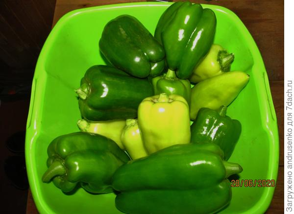 Как я выращиваю перец в теплице