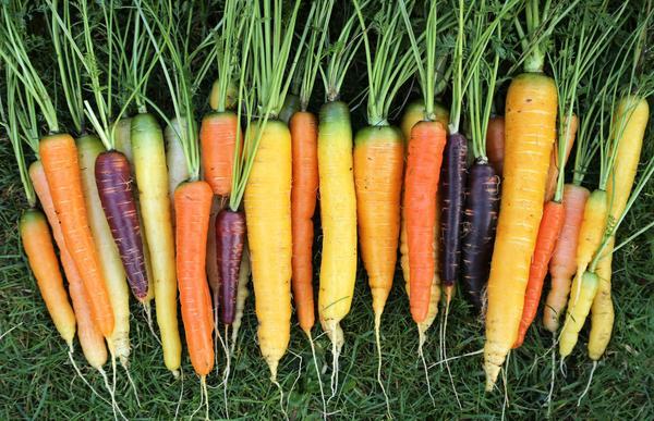 Изначально корнеплоды моркови имели фиолетовый цвет, но позже в Голландии были выведены оранжевые сорта