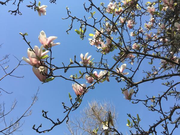 Название растению дал Карл Линней в честь директора ботанического сада в Монпелье П. Магноля