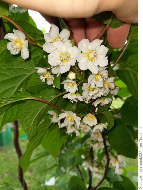 Моя актинидия коломикта цветёт. Красота!