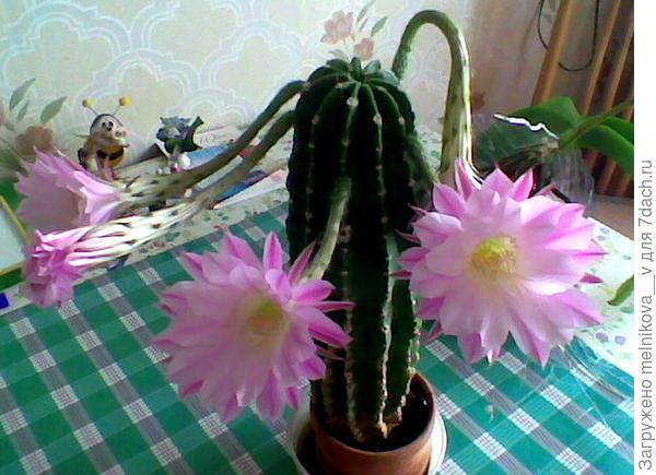 Расцвёл кактус у меня дома.