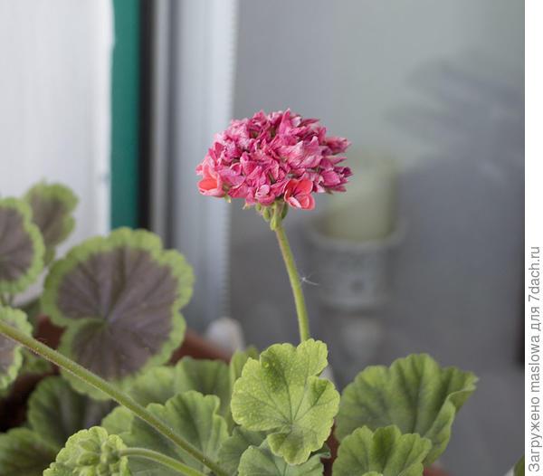 Цветок герани