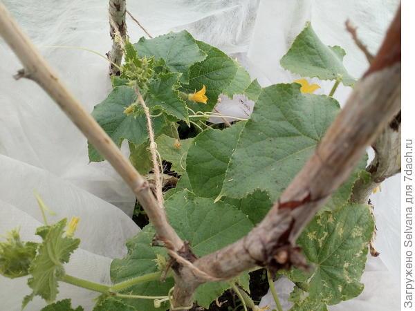 Огурцы в открытом грунте растут быстро, но с очень маленькими и плотными на ощупь листочками. В чем причина и что делать?
