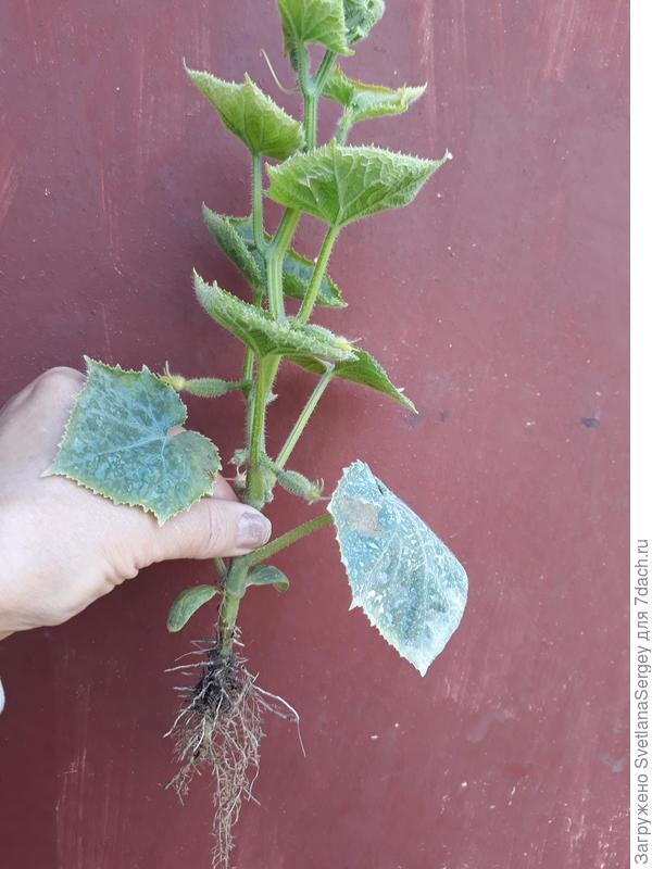 После высадки на ПМЖ томаты замедляются в росте, верхние листочки мельчают, корневая система не развивается. В чем проблема?