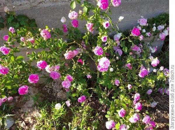 Роза неизвестная