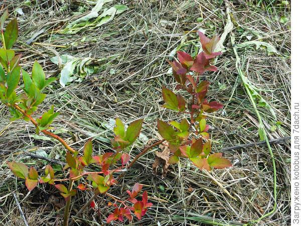 красные листья у голубики фото выбрали
