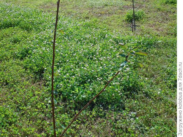 Почему не развивается саженец вишни?