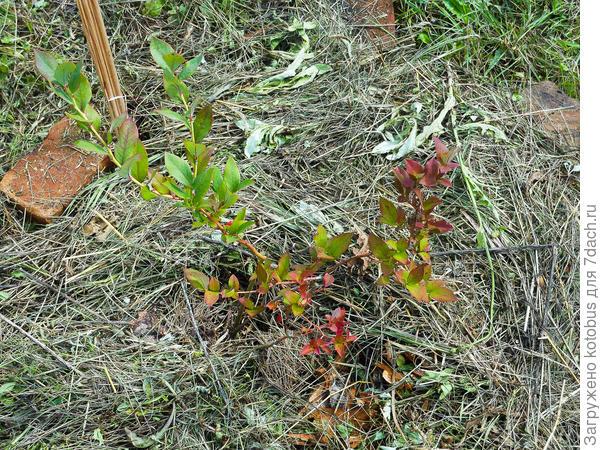 красные листья у голубики фото пчеловодством, работал слесарем