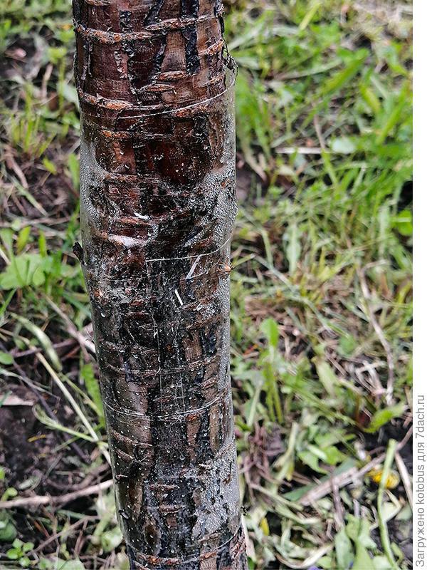 Не повредят ли ловчие пояса коре плодовых деревьев?