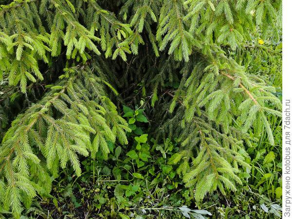 Можно ли обрезать нижние ветки у елки?