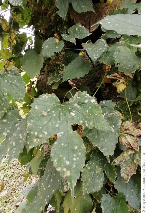Листья хмеля покрылись пятнами. Что за болезнь на растении?