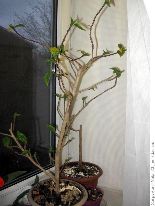 Растение похожее на гибискус, только мелкие листья и цветы красного цвета 3 см (типа розочек или пионов). Постоянно сбрасывает листья (желтеют и опадают). Непонятно как за ним ухаживать, корневая система нормальная, без болячек.