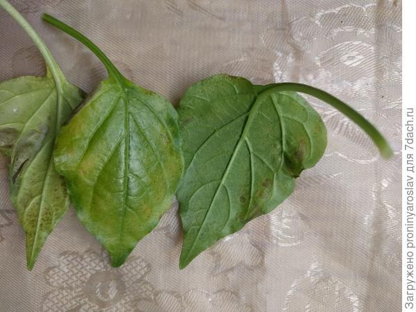 Листья острого перца покрываются пятнами. Какого элемента не хватает?