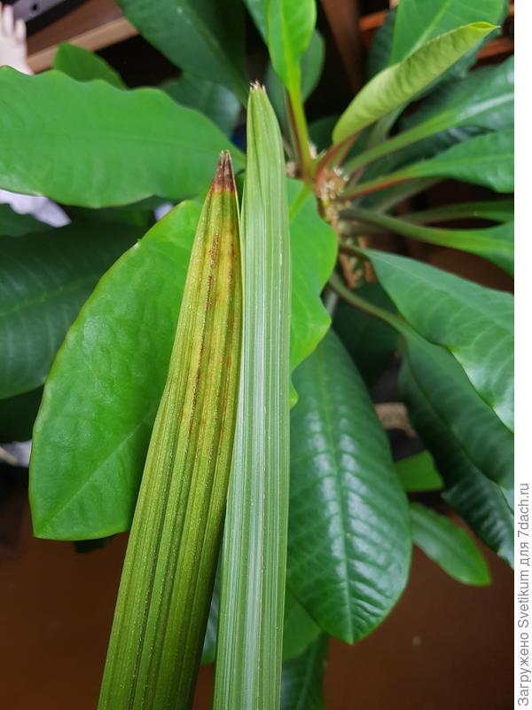 Листок финиковой пальмы