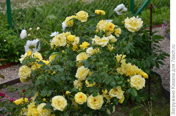 Роза сорт Лихткёниген Лючия