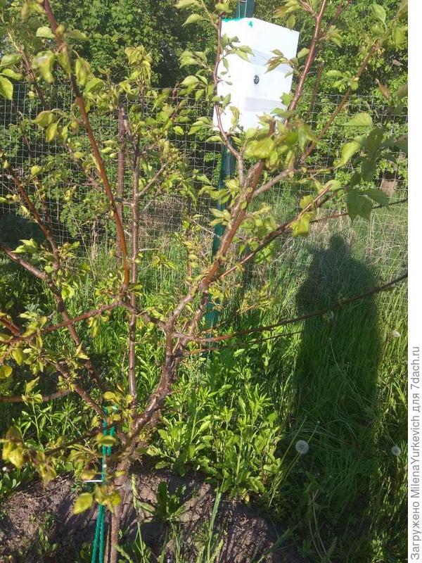 У абрикоса поникшие листья. Как его спасти?