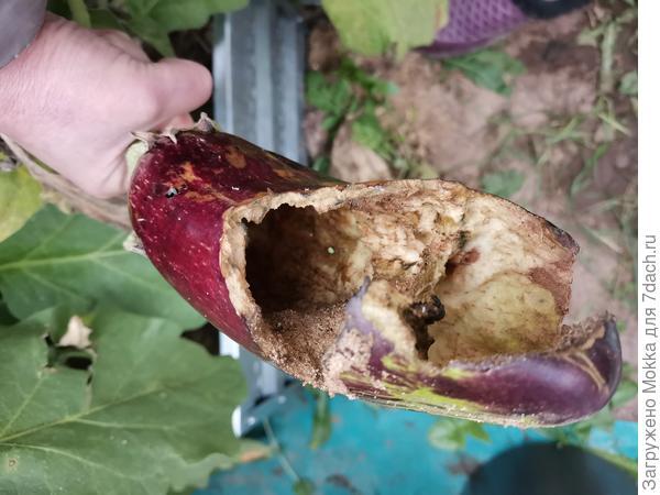 Кто съел баклажан в теплице?