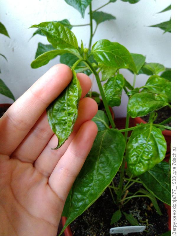 закручиваются семядольные листья у рассады перца