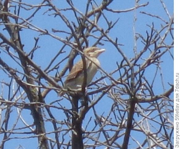 Серая птичка, размером с воробья, как называется?