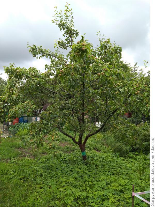 Груша (дерево)