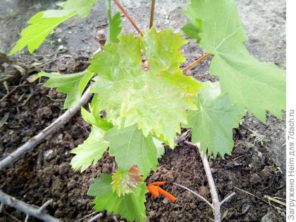 Красный молодой листок