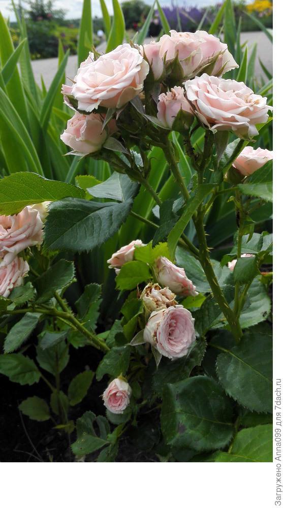 дочери определить сорт розы по картинке каждом курорте сможете