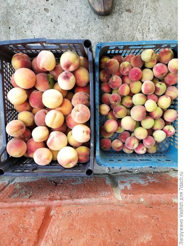 Урожай. Большие сортовые персики, мелкие с куста, но много