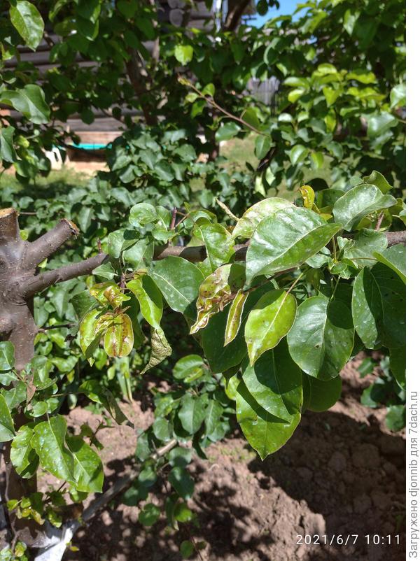 Почему у груши чернеют листья? Как ее спасти?