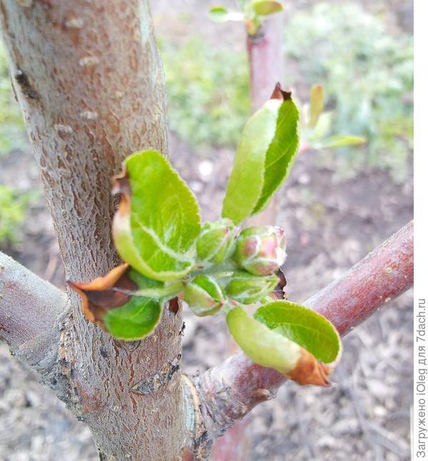 Почему на молодых листочках яблони темнеют кончики? Чем обработать растение?